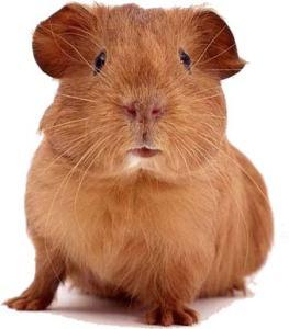 image of a guinea pig