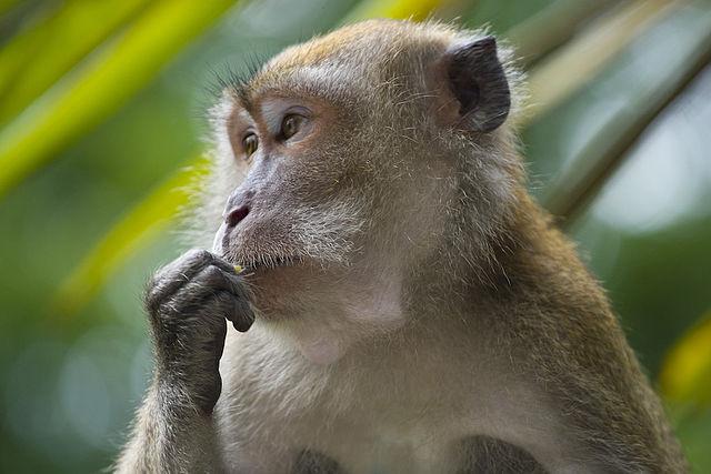 cynomolgous monkey