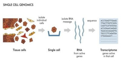 The technique used to identify cells at the level of the single cell is single-cell messenger RNA sequencing (RNA-seq), where every messenger RNA species in a sample is sequenced and identified.  Credit: Genome Research Limited
